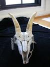 http://mczbase.mcz.harvard.edu/specimen_images/mammalogy/large/17393_Capra_pyrenaica_hispanica_hf.jpg