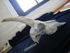 http://mczbase.mcz.harvard.edu/specimen_images/mammalogy/large/17393_Capra_pyrenaica_hispanica_hl.jpg