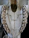 http://mczbase.mcz.harvard.edu/specimen_images/mammalogy/large/17393_Capra_pyrenaica_hispanica_hv2.jpg