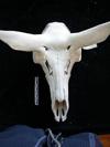 http://mczbase.mcz.harvard.edu/specimen_images/mammalogy/large/17733_Alces_alces_americana_hd.jpg