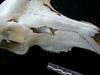 http://mczbase.mcz.harvard.edu/specimen_images/mammalogy/large/17733_Alces_alces_americana_hl.jpg