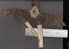http://mczbase.mcz.harvard.edu/specimen_images/mammalogy/large/1810_Plecotus_auriculus_v.jpg