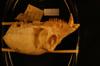 http://mczbase.mcz.harvard.edu/specimen_images/mammalogy/large/18110_Colobus_polykomos_occidentalis_hl.jpg