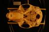 http://mczbase.mcz.harvard.edu/specimen_images/mammalogy/large/18110_Colobus_polykomos_occidentalis_hv.jpg