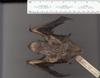 http://mczbase.mcz.harvard.edu/specimen_images/mammalogy/large/18697_Lasiurus_cinereus_v.jpg
