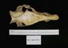 http://mczbase.mcz.harvard.edu/specimen_images/mammalogy/large/1913_Babyrousa_babyrousa_hd.jpg