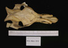 http://mczbase.mcz.harvard.edu/specimen_images/mammalogy/large/1914_Babyrousa_babyrousa_hd.jpg