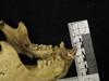 http://mczbase.mcz.harvard.edu/specimen_images/mammalogy/large/19188_Pan_troglodytes_jl.jpg
