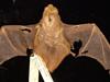 http://mczbase.mcz.harvard.edu/specimen_images/mammalogy/large/19209_Lasiurus_borealis_borealis_d.jpg
