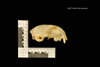 http://mczbase.mcz.harvard.edu/specimen_images/mammalogy/large/19224_Felis_colocolo_hl.jpg