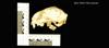 http://mczbase.mcz.harvard.edu/specimen_images/mammalogy/large/19501_Felis_colocolo_hl.jpg