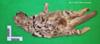 http://mczbase.mcz.harvard.edu/specimen_images/mammalogy/large/19501_Felis_colocolo_v.jpg