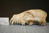 http://mczbase.mcz.harvard.edu/specimen_images/mammalogy/large/19566_Cuon_alpinus_alpinus_hl.jpg