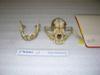 http://mczbase.mcz.harvard.edu/specimen_images/mammalogy/large/19745_Canis_familiaris_hf.jpg