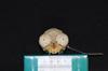 http://mczbase.mcz.harvard.edu/specimen_images/mammalogy/large/19801_Aotus_trivirgatus_griseimembra_hf.jpg