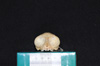 http://mczbase.mcz.harvard.edu/specimen_images/mammalogy/large/19802_Aotus_trivirgatus_griseimembra_hf.jpg