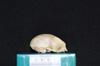 http://mczbase.mcz.harvard.edu/specimen_images/mammalogy/large/19802_Aotus_trivirgatus_griseimembra_hl.jpg