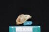 http://mczbase.mcz.harvard.edu/specimen_images/mammalogy/large/19804_Aotus_trivirgatus_griseimembra_hl.jpg
