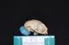 http://mczbase.mcz.harvard.edu/specimen_images/mammalogy/large/19805_Aotus_trivirgatus_griseimembra_hl.jpg
