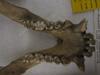 http://mczbase.mcz.harvard.edu/specimen_images/mammalogy/large/20039_Gorilla_gorilla_gorilla_jd.jpg