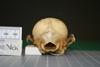 http://mczbase.mcz.harvard.edu/specimen_images/mammalogy/large/20077_vulpes_chama_hp.jpg