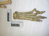 http://mczbase.mcz.harvard.edu/specimen_images/mammalogy/large/20968_Crocuta_crocuta_crouta_foot_d.jpg