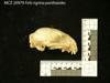 http://mczbase.mcz.harvard.edu/specimen_images/mammalogy/large/20979_Felis_tigrina_pardinoides_hl.jpg