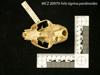 http://mczbase.mcz.harvard.edu/specimen_images/mammalogy/large/20979_Felis_tigrina_pardinoides_hv.jpg