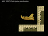 http://mczbase.mcz.harvard.edu/specimen_images/mammalogy/large/20979_Felis_tigrina_pardinoides_ml.jpg