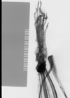 http://mczbase.mcz.harvard.edu/specimen_images/mammalogy/large/22256_Tupaia_splendidula_hldx2.jpg