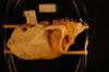 http://mczbase.mcz.harvard.edu/specimen_images/mammalogy/large/22353_colobus_polykomos_palliatus_hl.jpg