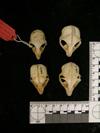 http://mczbase.mcz.harvard.edu/specimen_images/mammalogy/large/22453_Galagoides_orinus_hd.jpg