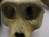 http://mczbase.mcz.harvard.edu/specimen_images/mammalogy/large/23161_Gorilla_gorilla_gorilla_hf.jpg