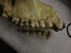 http://mczbase.mcz.harvard.edu/specimen_images/mammalogy/large/23161_Gorilla_gorilla_gorilla_hl.jpg