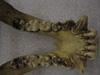http://mczbase.mcz.harvard.edu/specimen_images/mammalogy/large/23161_Gorilla_gorilla_gorilla_jd.jpg