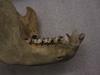 http://mczbase.mcz.harvard.edu/specimen_images/mammalogy/large/23161_Gorilla_gorilla_gorilla_jl.jpg