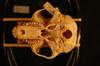 http://mczbase.mcz.harvard.edu/specimen_images/mammalogy/large/24080_colobus_badius_badius_hv.jpg