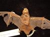 http://mczbase.mcz.harvard.edu/specimen_images/mammalogy/large/2475_Lasiurus_seminolus_d.jpg