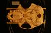 http://mczbase.mcz.harvard.edu/specimen_images/mammalogy/large/24778_Colobus_polykomos_polykomos_hv.jpg