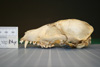 http://mczbase.mcz.harvard.edu/specimen_images/mammalogy/large/24853_Nyctereutes_procyonoides_procyonoides_hl.jpg