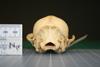 http://mczbase.mcz.harvard.edu/specimen_images/mammalogy/large/24858_Nyctereutes_procyonoides_orestes_hp.jpg