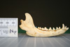 http://mczbase.mcz.harvard.edu/specimen_images/mammalogy/large/24858_Nyctereutes_procyonoides_orestes_ml.jpg