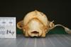 http://mczbase.mcz.harvard.edu/specimen_images/mammalogy/large/24860_Nyctereutes_procyonoides_procyonoides_hp.jpg