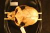 http://mczbase.mcz.harvard.edu/specimen_images/mammalogy/large/25007_Colobus_badius_ellioti_hd.jpg