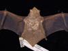 http://mczbase.mcz.harvard.edu/specimen_images/mammalogy/large/2530_Lasiurus_borealis_borealis_d2.jpg