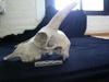 http://mczbase.mcz.harvard.edu/specimen_images/mammalogy/large/25354_Capra_siberica_hl2.jpg