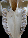 http://mczbase.mcz.harvard.edu/specimen_images/mammalogy/large/25354_Capra_siberica_hv.jpg