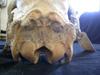 http://mczbase.mcz.harvard.edu/specimen_images/mammalogy/large/25355_Capra_siberica_hp2.jpg