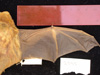 http://mczbase.mcz.harvard.edu/specimen_images/mammalogy/large/2545_Lasiurus_borealis_borealis_d.jpg