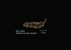 http://mczbase.mcz.harvard.edu/specimen_images/mammalogy/large/25944_Genetta_maculata_maculata_d.jpg